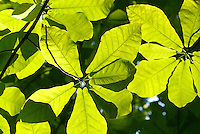 Backlit leaves of the Mountain Magnolia tree (Magnolia fraser), aka Fraser Magnolia, within the Monongahela National Forest. A native tree found in the mountains of Southern Appalachia, it's often planted as an ornamental.