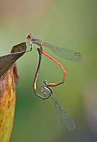 341160014 a pair of wild marsh firetail damselflies telebasis digiticollis perch in copula on a water hyacinth near san benito in the lower rio grande valley of south texas united states