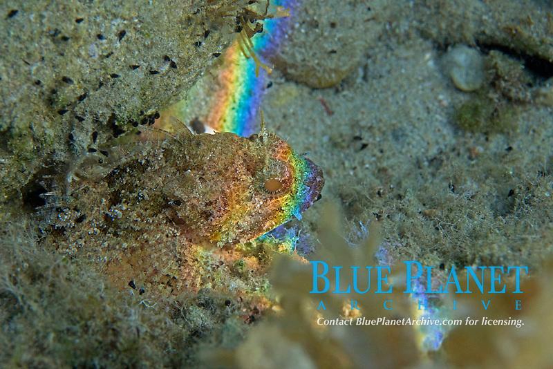 brown scorpionfish, scorpaena porcus, Aegean sea, Mediterranean
