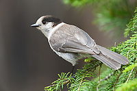 Canada Jay (Perisoreus canadensis). Deschutes County, Oregon. May.