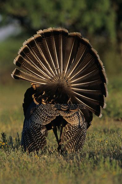 Wild Turkey, Meleagris gallopavo,male displaying, Lake Corpus Christi, Texas, USA