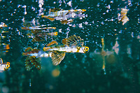 Juvenile butterfly-like Flying fish just under the surface, Pulau Lankayan, Sulu Sea, Sabah, Borneo, Malaysia