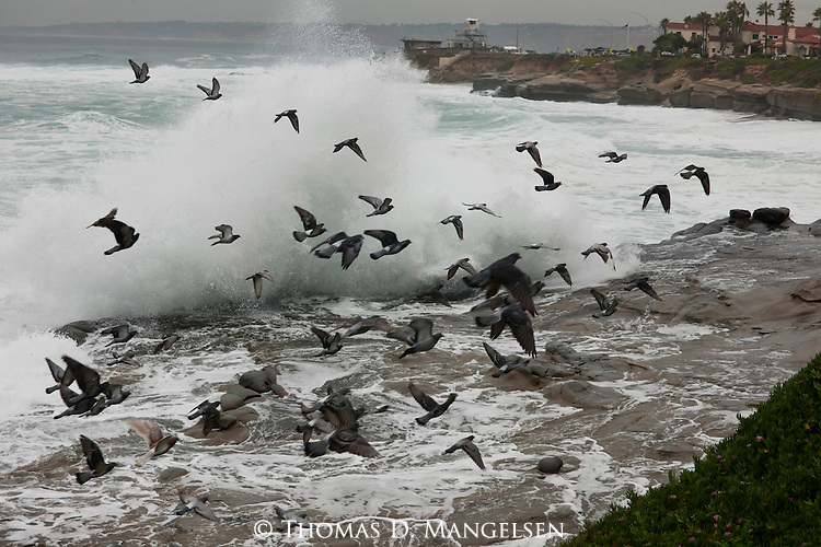 Pigeons fly over the beach as waves break against rocks in La Jolla, California.