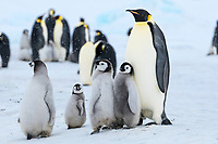Snow Hill Island, Antarctica. Emperor penguin chicks congregate around adult.
