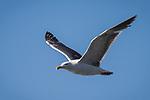 La Jolla, California; a Western Gull flying against a blue sky
