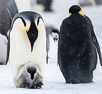 Snow Hill Island, Antarctica. Emperor penguin parent with chick on feet.