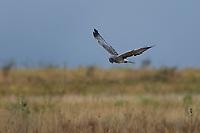 Male Northern Harrier Hunting, Kansas roadside