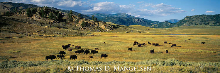 A herd of bison graze on the fall grasses of Lamar Valley in Yellowstone National Park, Wyoming.