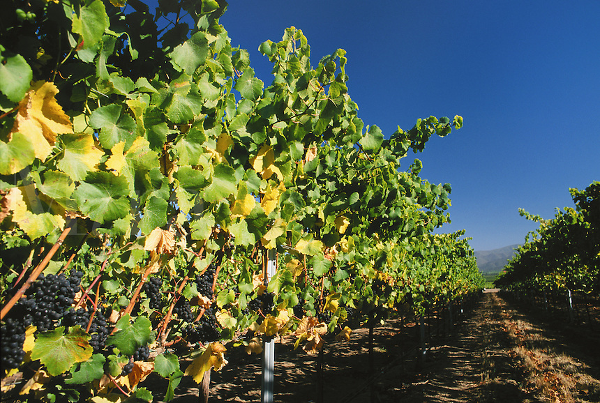 Clusters of PINOT NOIR GRAPES ripen on the vines of a CALIFORNIA VINEYARD.