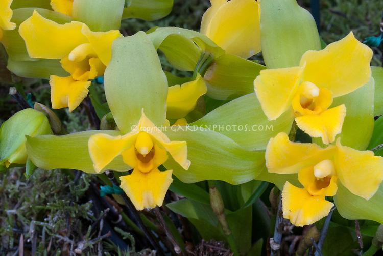 Lycaste luminosa orchid species