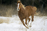 Horse running through a snowy field