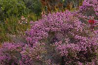 Erica baccans (Berry Heath) native to Cape Provinces, University of California Santa Cruz Botanic Garden
