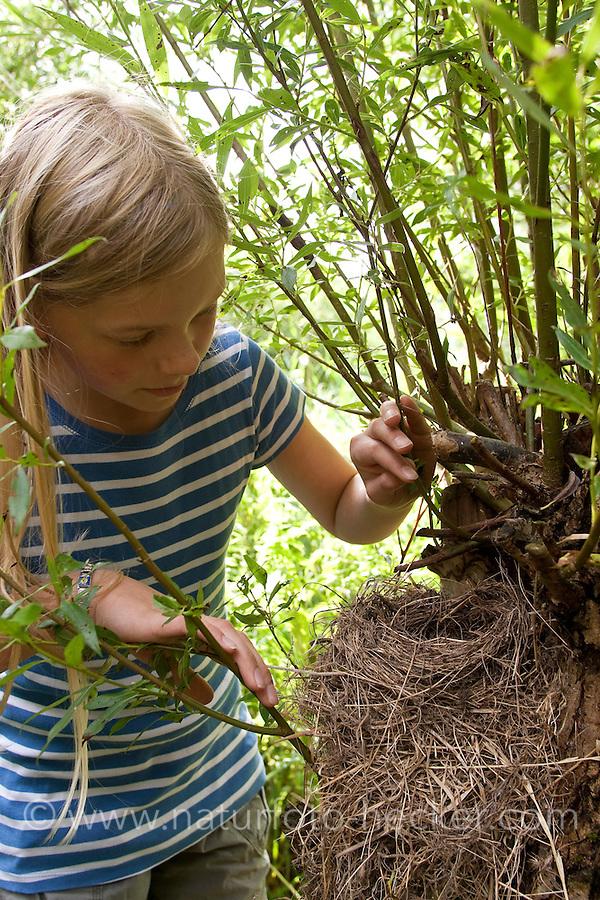 Kind entdeckt das verlassene, leere Nest einer Amsel, Schwarzdrossel, Schwarz - Drossel, in einer Kopfweide, Turdus merula, Blackbird, Merle noir