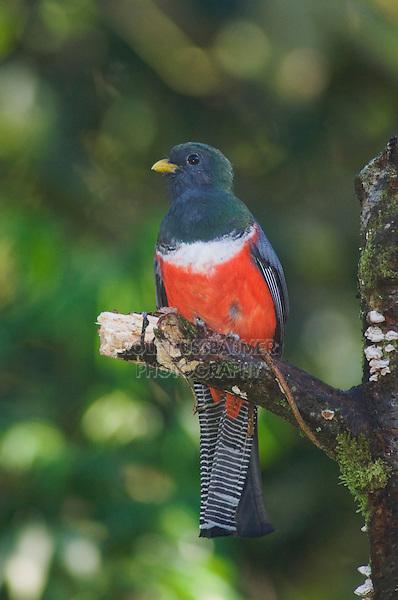 Collared Trogon, Trogon collaris, male perched, Bosque de Paz, Central Valley, Costa Rica, Central America