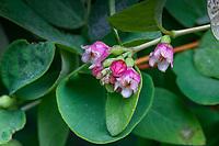 Symphoricarpos albus var. laevigatus- Snowberry flowering in California native plant garden, Regional Parks Botanic Garden, Berkeley, California