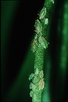 Aphids attacking the soft new growth of an orchid flower stem
