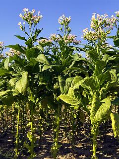 Italien, Umbrien, Tabakanbau in Umbrien | Italy, Umbria, tabacco growing at Umbria