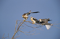 White-tailed Kite, Elanus leucurus, young, Cameron County, Rio Grande Valley, Texas, USA