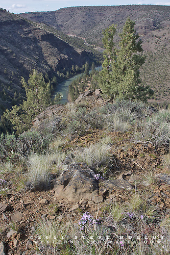 Phlox, bunchgrass, and juniper above the Crooked River, Oregon.