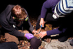 Mountain Lion (Puma concolor) biologists, Chris Wilmers and Chris Fust, placing satellite collar on sub-adult male, Santa Cruz Puma Project, Santa Cruz, Monterey Bay, California