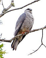 Mississippi kite adult