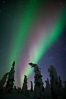 Aurora borealis over snow covered spruce trees, Interior, Alaska.