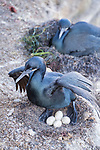 La Jolla, California; a Brandt's cormorant sitting on 4 eggs in its nest in early morning shade