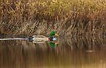 Drake mallard swimming in a northern Wisconsin lake.