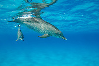 Spotted dolphins Stenella frontalis Atlantic Ocean Bahamas