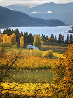 Orchard in fall colors and Columbia River. Columbia River Gorge National Scenic Area. Oregon