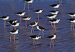 Black-necked stilt, Venezuela