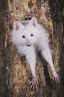 Northern Raccoon (Procyon lotor), albino in tree hole, Raleigh, Wake County, North Carolina, USA