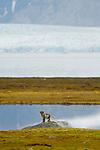 Renard polaire a Ny alesund -