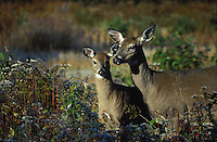 Whitetail Deer, doe and fawn standing in Nesowadnehunk Field, Baxter State Park, Maine.