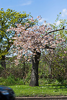 Roads Beautifying Association Cheerry Trees, Prunus, near Hampton Court, England