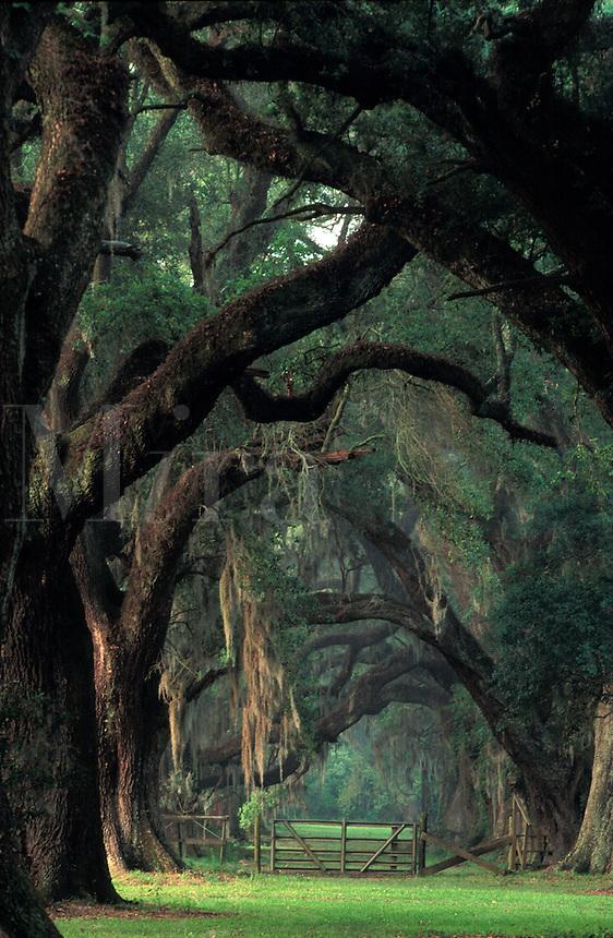 A row of live Oak trees