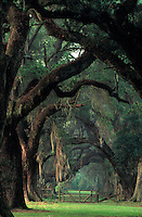 A row of live Oak trees