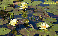0904-0805  Yellow Hardy Water Lilies, Nymphaea spp. © David Kuhn/Dwight Kuhn Photography.
