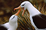 The smallest of the thirteen species of albatrosses, a pair of these resilient seabirds reinforces their bond in a ritualized feeding.