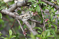 February 23 2010.  San Diego, California, USA:  A humming bird approaches a nest full of chicks in a backyard in Pacific Beach from below.  While much of the rest of the US struggled through blizzard conditions, early signs of spring were visible in Southern California.