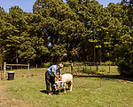 July 31, 2017. Chapel Hill, North Carolina.<br /> <br /> Don Basnight puts Rameses on a tether outside the barn in which he lives. <br /> <br /> Basnight is one of the members of the Hogan family who have long been the caretakers of Rameses the Ram. The current Rameses is the 21st in the line of the University of North Carolina's live mascot.