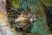 """TP03-500z  Red Volitan Lionfish """"Venomous Spines on Fish"""" - Pterois volitans"""