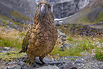 Kea (Nestor notabilis), South Island, New Zealand<br />