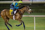 MEYDAN,DUBAI-MARCH 24: Euro Charline ,trained by Marco Botti,exercises in preparation for the Dubai Turf at Meydan Racecourse on March 24,2016 in Meydan,Dubai (Photo by Kaz Ishida)