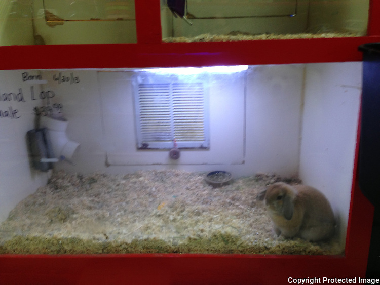 A rabbit for sale at a pet store, Maser's Grooming and Pet Boutique in Kenmore, Wash., in November 2013.