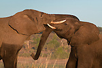 Two African elephants sparring in practice fight, Chobe National Park, Botswana. (This species is found in many African countries including South Africa, Botswana, Zambia, Zimbabwe, Namibia, Tanzania, Kenya, Rwanda, Uganda, Angola, Democratic Republic of Congo)