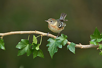 Bay-breasted Warbler (Dendroica castanea), female perched, South Padre Island, Texas, USA