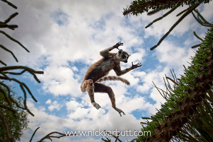 Ring-tailed Lemur (Lemur catta) leaping through spiny forest. Anjampolo Forest, southern Madagascar. (digitally modified image)