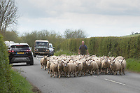 18-5-2021 Sheep being moved down a road <br /> ©Tim Scrivener Photographer 07850 303986<br />      ....Covering Agriculture In The UK....