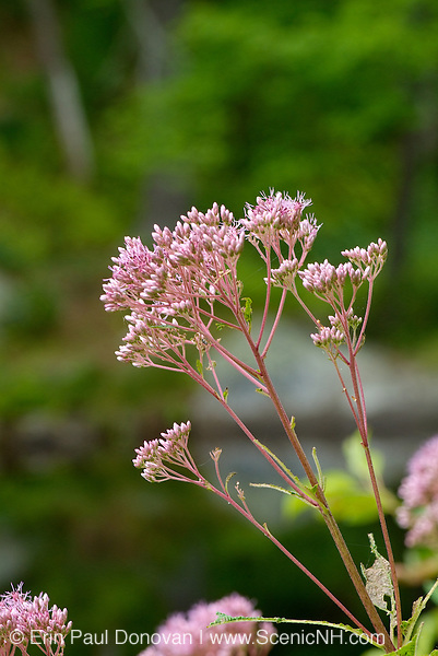 Joe-Pye weed-Eupatorium maculatum-during the summer months in a New Hampshire forest  USA. .Notes:  This plant is named after Joe Pye who was said to have cured typhus with this plant.